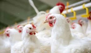 کشف بیش ۷ تن مرغ زنده قاچاق در دره شهر