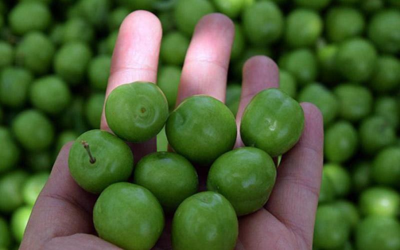 هر کیلو گوجه سبز ۱۲۵ هزار تومان  / رئیس اتحادیه میوه: گوجه سبز میوه لوکس است